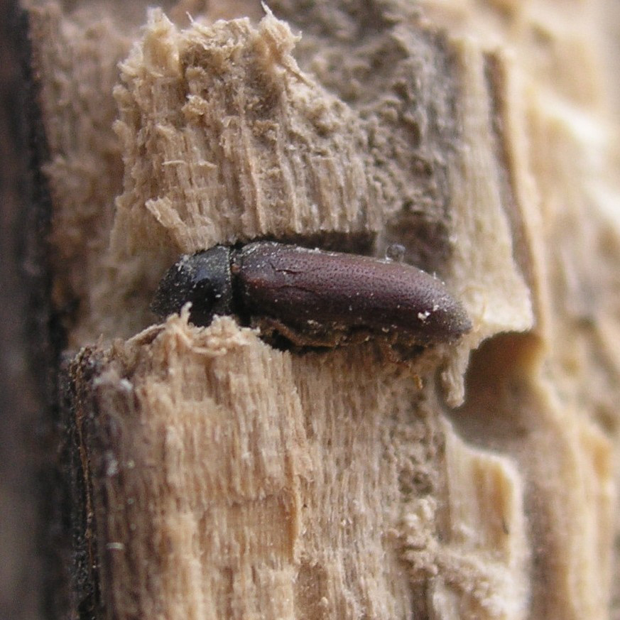 Woodworm treatment in Longfield